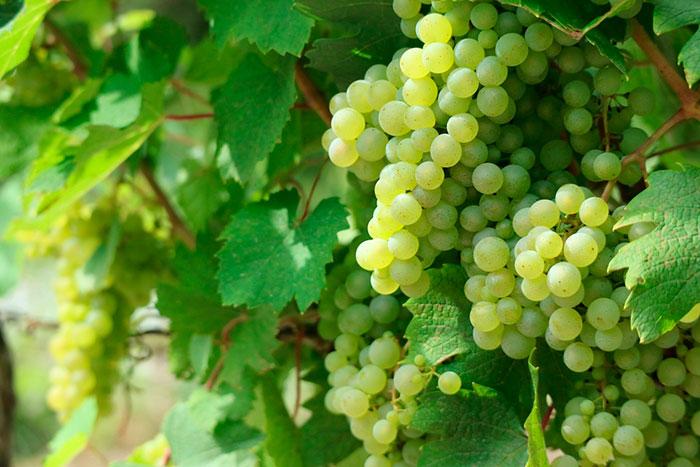 Uva blanca, Champagne, Cava, Valencia, Destilerías Ferri
